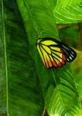 Watercolour-Butterfly